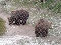 Bären-im-Wildtierpark