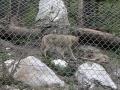 Wölfe-im-Wildtierpark